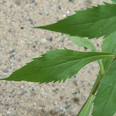 Leaves: Solidago ulmifolia. ~ By Arieh Tal. ~ Copyright © 2019 Arieh Tal. ~ www.nttlphoto.com ~ Arieh Tal - www.nttlphoto.com