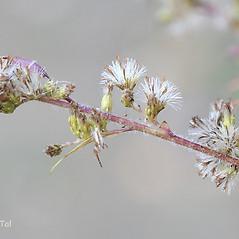 Fruits: Solidago ulmifolia. ~ By Arieh Tal. ~ Copyright © 2019 Arieh Tal. ~ www.nttlphoto.com ~ Arieh Tal - www.nttlphoto.com
