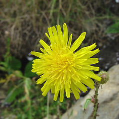 Flowers: Sonchus arvensis. ~ By Glen Mittelhauser. ~ Copyright © 2021 Glen Mittelhauser. ~ www.mainenaturalhistory.org