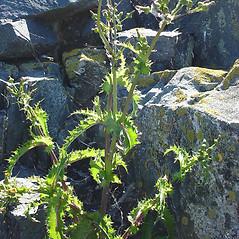 Plant form: Sonchus asper. ~ By Glen Mittelhauser. ~ Copyright © 2021 Glen Mittelhauser. ~ www.mainenaturalhistory.org