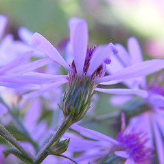 Flowers: Symphyotrichum ciliolatum. ~ By Arthur Haines. ~ Copyright © 2021. ~ arthurhaines[at]wildblue.net