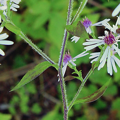 Stems: Symphyotrichum ciliolatum. ~ By Arthur Haines. ~ Copyright © 2021. ~ arthurhaines[at]wildblue.net