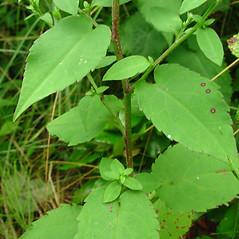 Leaves: Symphyotrichum cordifolium. ~ By Glen Mittelhauser. ~ Copyright © 2020 Glen Mittelhauser. ~ www.mainenaturalhistory.org