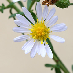 Flowers: Symphyotrichum dumosum. ~ By Arieh Tal. ~ Copyright © 2021 Arieh Tal. ~ http://botphoto.com/ ~ Arieh Tal - botphoto.com