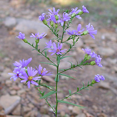 Plant form: Symphyotrichum laeve. ~ By Arthur Haines. ~ Copyright © 2020. ~ arthurhaines[at]wildblue.net