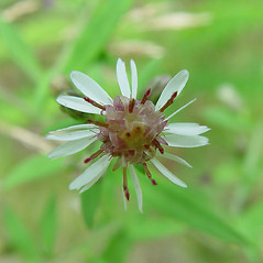 Flowers: Symphyotrichum lateriflorum. ~ By Arthur Haines. ~ Copyright © 2020. ~ arthurhaines[at]wildblue.net