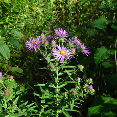 Plant form: Symphyotrichum novae-angliae. ~ By Arthur Haines. ~ Copyright © 2020. ~ arthurhaines[at]wildblue.net