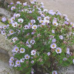 Plant form: Symphyotrichum novi-belgii. ~ By Glen Mittelhauser. ~ Copyright © 2021 Glen Mittelhauser. ~ www.mainenaturalhistory.org