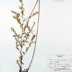 Plant form: Symphyotrichum ontarionis. ~ By University of Massachusetts Herbarium (MASS). ~ Copyright © 2020 University of Massachusetts Herbarium. ~ University of Massachusetts Herbarium ~ U. of Massachusetts Herbarium