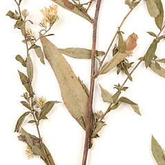 Leaves: Symphyotrichum ontarionis. ~ By University of Massachusetts Herbarium (MASS). ~ Copyright © 2020 University of Massachusetts Herbarium. ~ University of Massachusetts Herbarium ~ U. of Massachusetts Herbarium