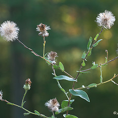 Fruits: Symphyotrichum patens. ~ By Arieh Tal. ~ Copyright © 2021 Arieh Tal. ~ http://botphoto.com/ ~ Arieh Tal - botphoto.com