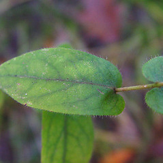 Leaves: Symphyotrichum patens. ~ By Arthur Haines. ~ Copyright © 2021. ~ arthurhaines[at]wildblue.net