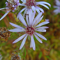 Flowers: Symphyotrichum praealtum. ~ By Arthur Haines. ~ Copyright © 2019. ~ arthurhaines[at]wildblue.net