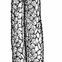 Leaves: Symphyotrichum praealtum. ~ By Elizabeth Farnsworth. ~ Copyright © 2019 New England Wild Flower Society. ~ Image Request, images[at]newenglandwild.org