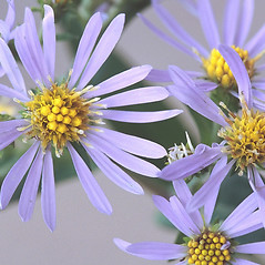 Flowers: Symphyotrichum prenanthoides. ~ By Arieh Tal. ~ Copyright © 2020 Arieh Tal. ~ http://botphoto.com/ ~ Arieh Tal - botphoto.com