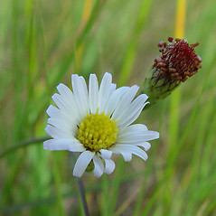 Flowers: Symphyotrichum tenuifolium. ~ By Arthur Haines. ~ Copyright © 2020. ~ arthurhaines[at]wildblue.net