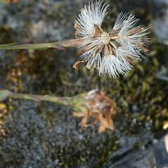 Fruits: Symphyotrichum tradescantii. ~ By Arieh Tal. ~ Copyright © 2021 Arieh Tal. ~ http://botphoto.com/ ~ Arieh Tal - botphoto.com