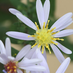 Flowers: Symphyotrichum undulatum. ~ By Arieh Tal. ~ Copyright © 2021 Arieh Tal. ~ http://botphoto.com/ ~ Arieh Tal - botphoto.com