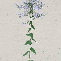 Plant form: Symphyotrichum undulatum. ~ By Arieh Tal. ~ Copyright © 2021 Arieh Tal. ~ http://botphoto.com/ ~ Arieh Tal - botphoto.com