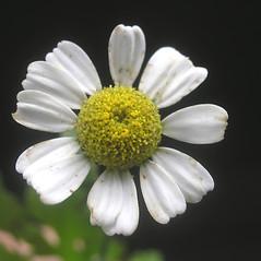 Flowers: Tanacetum parthenium. ~ By Bruce Patterson. ~ Copyright © 2020 Bruce Patterson. ~ foxpatterson[at]comcast.net