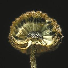 Fruits: Tanacetum parthenium. ~ By Bruce Patterson. ~ Copyright © 2020 Bruce Patterson. ~ foxpatterson[at]comcast.net