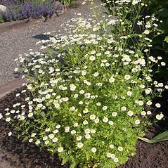 Plant form: Tanacetum parthenium. ~ By Charles Brun. ~ Copyright © 2020. ~ brunc[at]wsu.edu ~ Pacific Northwest Plants - www.pnwplants.wsu.edu/