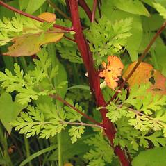 Stems: Tanacetum parthenium. ~ By Ben Legler. ~ Copyright © 2020 Ben Legler. ~ mountainmarmot[at]hotmail.com ~ U. of Washington - WTU - Herbarium - biology.burke.washington.edu/herbarium/imagecollection.php