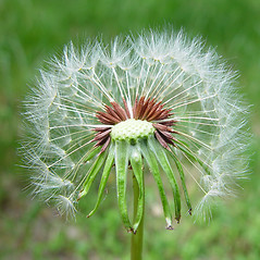 Fruits: Taraxacum laevigatum. ~ By Arthur Haines. ~ Copyright © 2020. ~ arthurhaines[at]wildblue.net