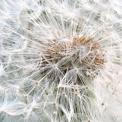 Fruits: Taraxacum officinale. ~ By Marilee Lovit. ~ Copyright © 2021 Marilee Lovit. ~ lovitm[at]gmail.com