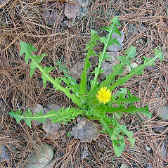 Plant form: Taraxacum officinale. ~ By Arthur Haines. ~ Copyright © 2021. ~ arthurhaines[at]wildblue.net