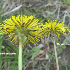 Comparison: Taraxacum officinale. ~ By Arthur Haines. ~ Copyright © 2021. ~ arthurhaines[at]wildblue.net