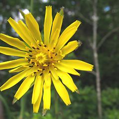 Flowers: Tragopogon pratensis. ~ By Marilee Lovit. ~ Copyright © 2020 Marilee Lovit. ~ lovitm[at]gmail.com