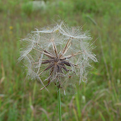 Fruits: Tragopogon pratensis. ~ By Arthur Haines. ~ Copyright © 2020. ~ arthurhaines[at]wildblue.net
