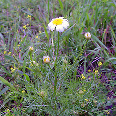 Plant form: Tripleurospermum inodorum. ~ By Arthur Haines. ~ Copyright © 2021. ~ arthurhaines[at]wildblue.net