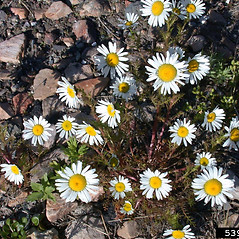Plant form: Tripleurospermum maritimum. ~ By Mary Ellen Harte. ~ Copyright © 2020 CC BY-NC 3.0. ~  ~ Bugwood - www.bugwood.org/