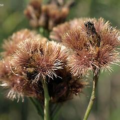 Fruits: Vernonia fasciculata. ~ By Keir Morse. ~ Copyright © 2020 Keir Morse. ~ www.keiriosity.com ~ www.keiriosity.com