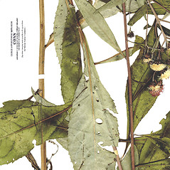 Leaves: Vernonia glauca. ~ By CONN Herbarium. ~ Copyright © 2020 CONN Herbarium. ~ Requests for image use not currently accepted by copyright holder ~ U. of Connecticut Herbarium - bgbaseserver.eeb.uconn.edu/
