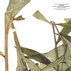 Stems: Vernonia glauca. ~ By CONN Herbarium. ~ Copyright © 2020 CONN Herbarium. ~ Requests for image use not currently accepted by copyright holder ~ U. of Connecticut Herbarium - bgbaseserver.eeb.uconn.edu/