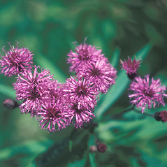 Flowers: Vernonia noveboracensis. ~ By John Lynch. ~ Copyright © 2021 New England Wild Flower Society. ~ Image Request, images[at]newenglandwild.org