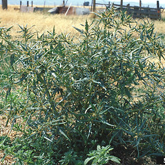 Plant form: Xanthium spinosum. ~ By Barry Rice. ~ Copyright © 2020 CC BY-NC 3.0. ~  ~ Bugwood - www.bugwood.org/