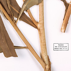 Stems: Xerochrysum bracteatum. ~ By University of Massachusetts Herbarium (MASS). ~ Copyright © 2020 University of Massachusetts Herbarium. ~ University of Massachusetts Herbarium ~ U. of Massachusetts Herbarium