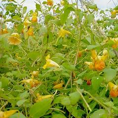 Plant form: Impatiens capensis. ~ By Glen Mittelhauser. ~ Copyright © 2021 Glen Mittelhauser. ~ www.mainenaturalhistory.org