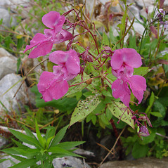 Flowers: Impatiens glandulifera. ~ By Donald Cameron. ~ Copyright © 2020 Donald Cameron. ~ No permission needed for non-commercial uses, with proper credit