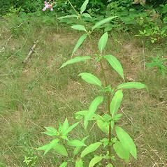 Plant form: Impatiens glandulifera. ~ By Glen Mittelhauser. ~ Copyright © 2020 Glen Mittelhauser. ~ www.mainenaturalhistory.org