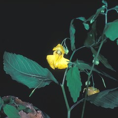 Flowers: Impatiens pallida. ~ By Frank Bramley. ~ Copyright © 2019 New England Wild Flower Society. ~ Image Request, images[at]newenglandwild.org