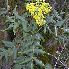 Plant form: Berberis aquifolium. ~ By Keir Morse. ~ Copyright © 2021 Keir Morse. ~ www.keiriosity.com ~ www.keiriosity.com
