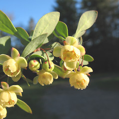 Flowers: Berberis thunbergii. ~ By Marilee Lovit. ~ Copyright © 2020 Marilee Lovit. ~ lovitm[at]gmail.com