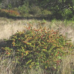 Plant form: Berberis thunbergii. ~ By Donald Cameron. ~ Copyright © 2020 Donald Cameron. ~ No permission needed for non-commercial uses, with proper credit