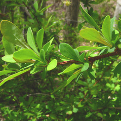 Leaves: Berberis thunbergii. ~ By Donna Kausen. ~ Copyright © 2020 Donna Kausen. ~ 33 Bears Den, Addison, ME 04606
