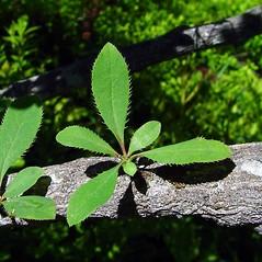Bark: Berberis vulgaris. ~ By Arthur Haines. ~ Copyright © 2021. ~ arthurhaines[at]wildblue.net